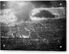 Backlit Cheetah Acrylic Print by Jaco Marx