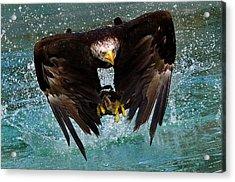Bald Eagle In Flight Acrylic Print by Dean Bertoncelj