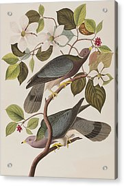 Band-tailed Pigeon  Acrylic Print by John James Audubon