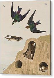Bank Swallows Acrylic Print by John James Audubon