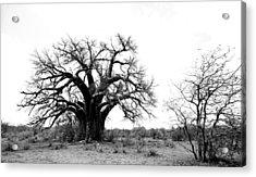 Baobab Landscape Acrylic Print by Bruce J Robinson