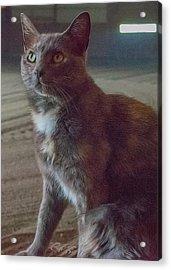 Barn Kitty Acrylic Print by Guy Whiteley