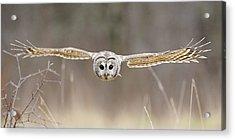 Barred Owl In Flight Acrylic Print by Scott  Linstead