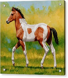 Bay Pinto Foal Acrylic Print by Crista Forest