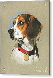 Beagle Acrylic Print by Marshall Robinson