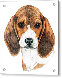 Beagle, Puppy Acrylic Print by Kathleen Sepulveda