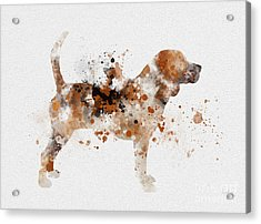 Beagle Acrylic Print by Rebecca Jenkins