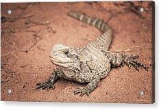 Bearded Dragon Lizard Acrylic Print by Wim Lanclus