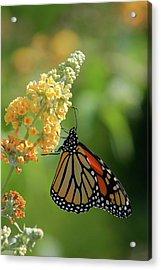 Beautiful Butterfly Acrylic Print by Karol Livote