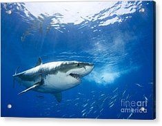 Beautiful Great White Shark Acrylic Print by Dave Fleetham - Printscapes
