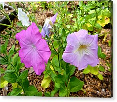 Beautiful Petunia Flower 2 Acrylic Print by Lanjee Chee