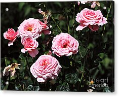 Beautiful Pink Rose L'aimant Acrylic Print by Louise Heusinkveld