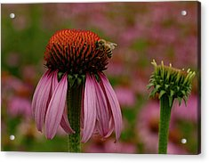 Bee On Echinacea Acrylic Print by Jean Noren