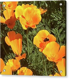 Bee Visits Poppies  Acrylic Print by Carolyn Donnell