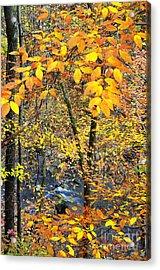 Beech Leaves Birch River Acrylic Print by Thomas R Fletcher