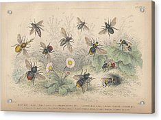 Bees Acrylic Print by Oliver Goldsmith