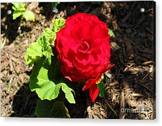 Begonia Flower - Red Acrylic Print by Corey Ford