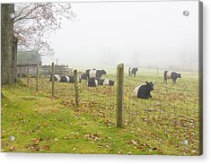 Belted Galloway Cows Farm Rockport Maine Photograph Acrylic Print by Keith Webber Jr