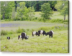 Belted Galloway Cows Rockport Maine Poster Prints Acrylic Print by Keith Webber Jr