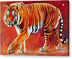 Bengal Tiger  Acrylic Print by Mark Adlington