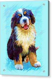 Bernese Mountain Dog Acrylic Print by Jane Schnetlage