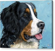 Bernese Mountain Dog On Blue Acrylic Print by Dottie Dracos