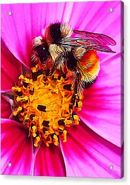 Big Bumble On Pink Acrylic Print by Bill Caldwell -        ABeautifulSky Photography