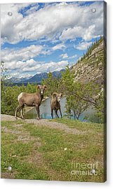 Bighorn Sheep In The Rocky Mountains Acrylic Print by Patricia Hofmeester