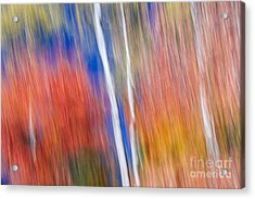 Birches In Red Forest Acrylic Print by Elena Elisseeva