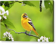 Bird And Blooms - Baltimore Oriole Acrylic Print by Christina Rollo