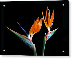Birds Of Paradise Acrylic Print by Terence Davis