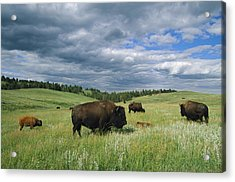 Bison And Their Calves Graze In Custer Acrylic Print by Annie Griffiths
