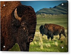 Bison On The Plain Acrylic Print by Paul W Sharpe Aka Wizard of Wonders