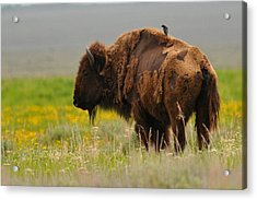 Bison With Cowbird On Back Acrylic Print by Alan Lenk
