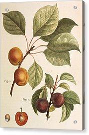 Black Apricot And Apricot Plants Acrylic Print by Pierre Joseph Redoute