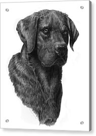 Black Lab Head Study 2 Acrylic Print by Laurie McGinley