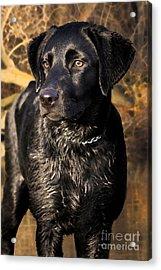 Black Labrador Retriever Dog Acrylic Print by Cathy  Beharriell