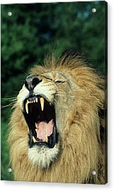 Black-maned Male African Lion Yawning, Headshot, Africa Acrylic Print by Tom Brakefield