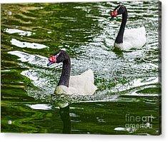Black Neck Swan Swim Acrylic Print by Jamie Pham