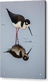 Black-necked Stilt Reflection Acrylic Print by Andres Leon