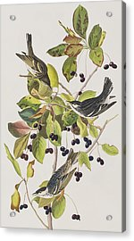 Black Poll Warbler Acrylic Print by John James Audubon