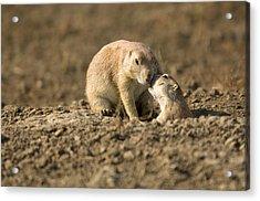 Black-tailed Prairie Dogs In Eastern Acrylic Print by Joel Sartore