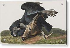 Black Vulture Or Carrion Crow Acrylic Print by John James Audubon