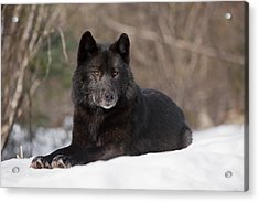 Black Wolf Acrylic Print by John Hyde - Printscapes