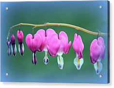 Bleeding Hearts Acrylic Print by Jessica Jenney