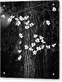Blooming Dogwoods In Yosemite Black And White Acrylic Print by Larry Marshall