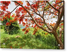 Blooming Flamboyan Tree Acrylic Print by George Oze