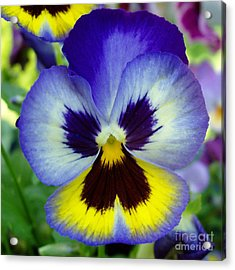 Blue And Yellow Pansy Acrylic Print by Nancy Mueller