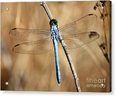 Blue Beauty Acrylic Print by Carol Groenen