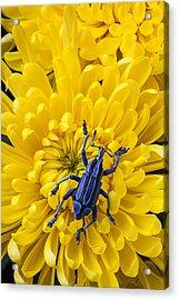 Blue Bug On Yellow Mum Acrylic Print by Garry Gay